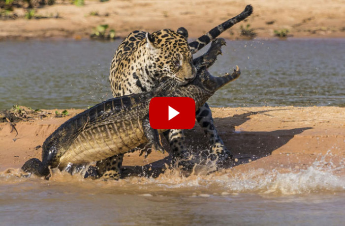 amazing viral video of jaguar vs crocodial