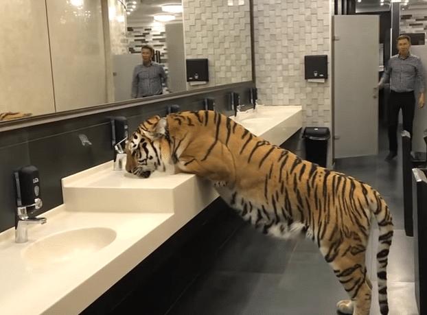A tigress drinks water in public bathroom in Russia