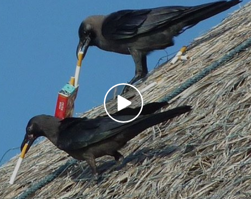 This Startup Trains Crows To Pick Up Cigarette Butts To Fight Pollution