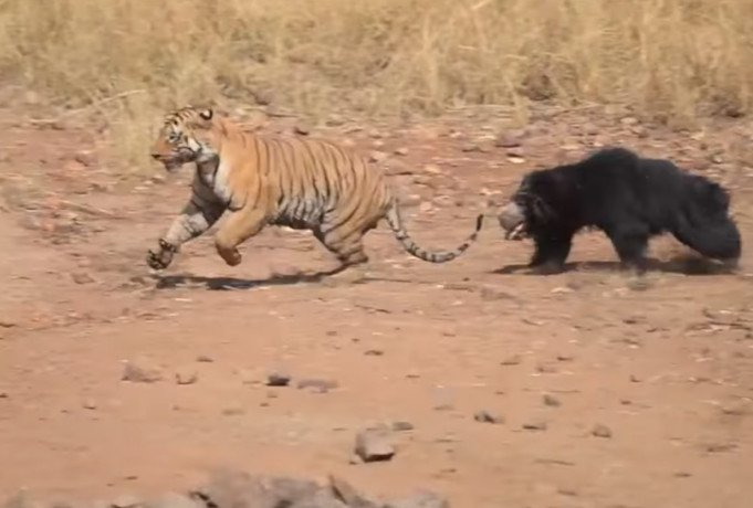 tiger and sloth beer face off in tabola national park maharashtra