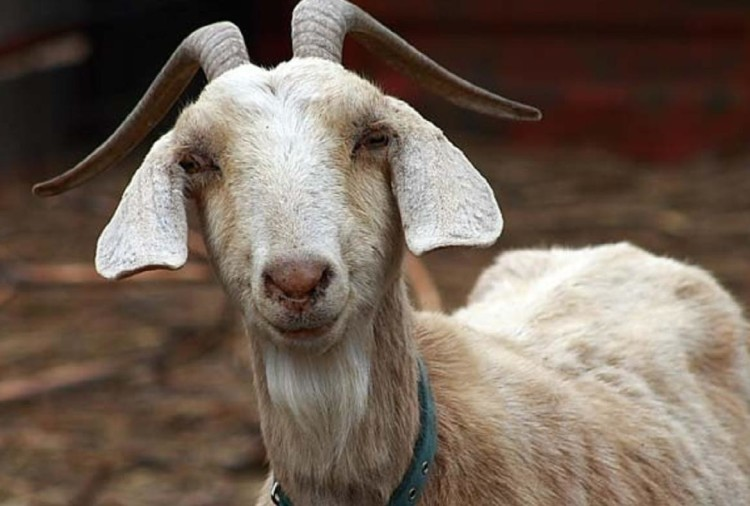 MCL lost worth rs 2.68 crore due to death of goat