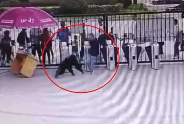 chimpanzee kicks zoo keeper viral video in china hefei wildlife park