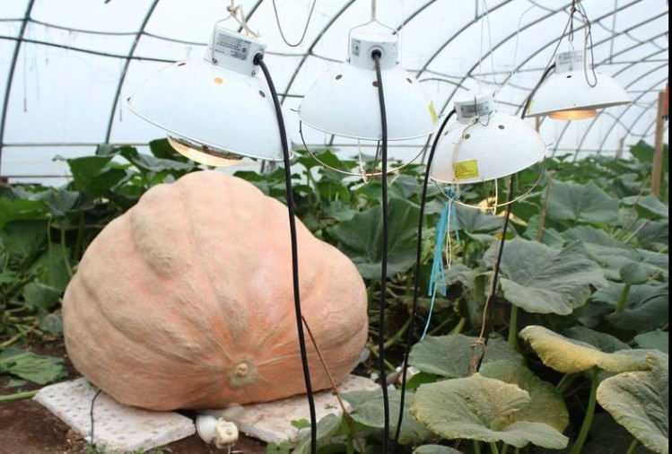 giant pumpkin competition 2019 winner has grown so many kilos of pumpkin