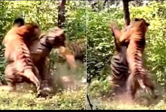 two tiger fight for tigress