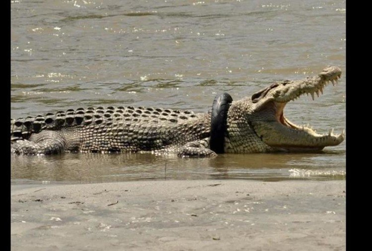 crocodile neck stuck in tyre Indonesia goverment offers reward for rescuing