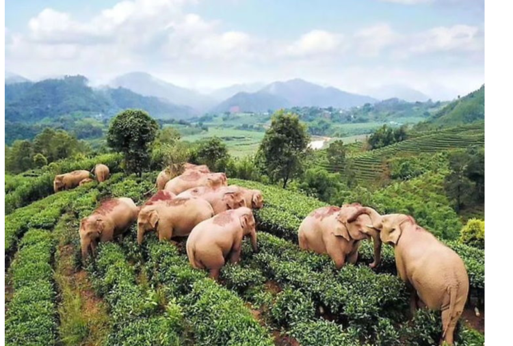 Elephants get drunk wine during searching food