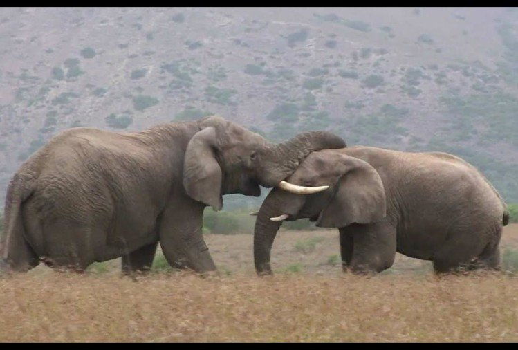 viral video of two angry elephant fight on field people give shocking reactions