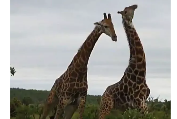 viral video of two giraffes 'fighting Neck To Neck' users give hilarious reaction
