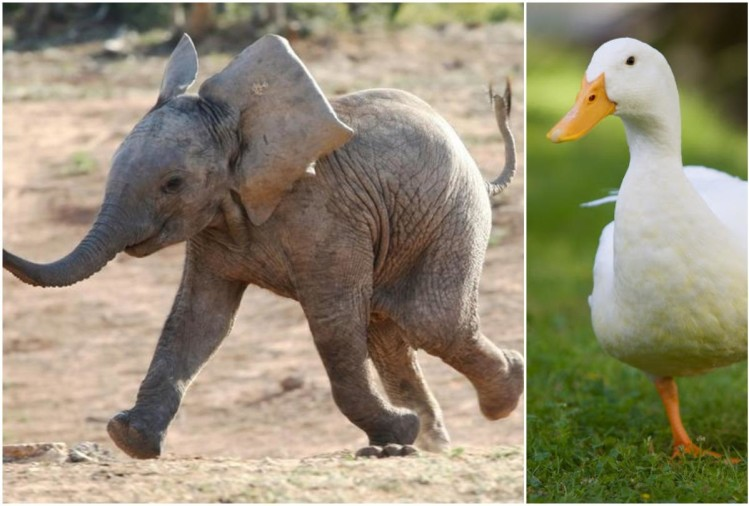 viral video of fight between duck and elephant people give funny comments on it