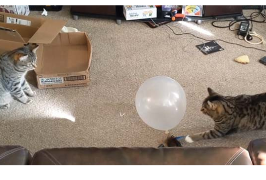 viral video of cats playing with ballon