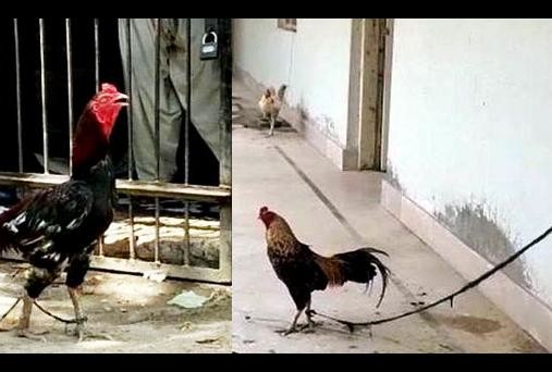 pakistan police realsed a chicken after eight month and know what crime did by hen