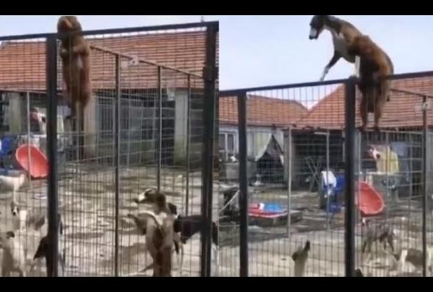 viral video of puppy who climbing cage fence other dog also do same thing via inspire mode
