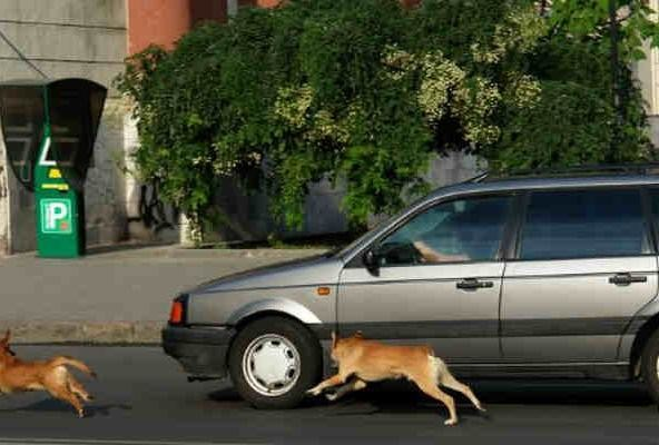 know why street dogs dogs barks and run after cars and bikes