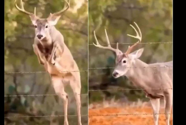 viral video of deer jumping fence video people did funny comments on it