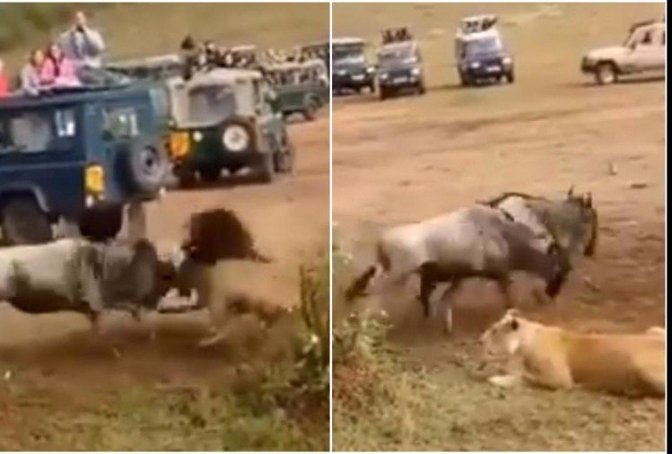 Viral Video of lioness keep waiting for prey and lion came caught prey