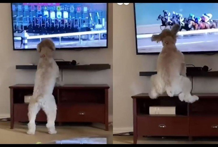 viral video of dog watching horse race and Shake his booty like a perfect dancer