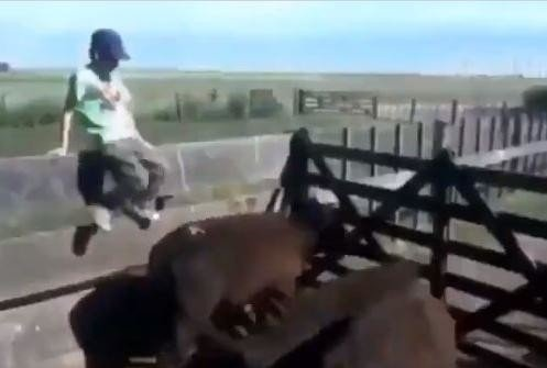 viral video of child who kicked buffalo and animal take revenge in superb way