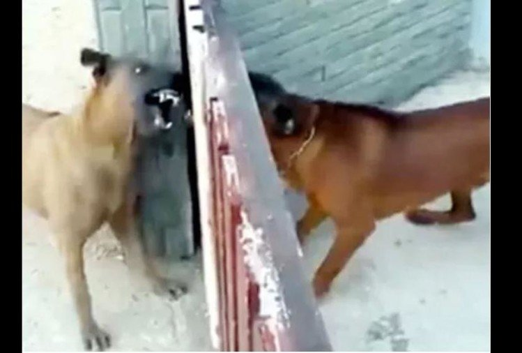 viral video of dogs barking in behind gate see what happen next people did hilarious comment on it