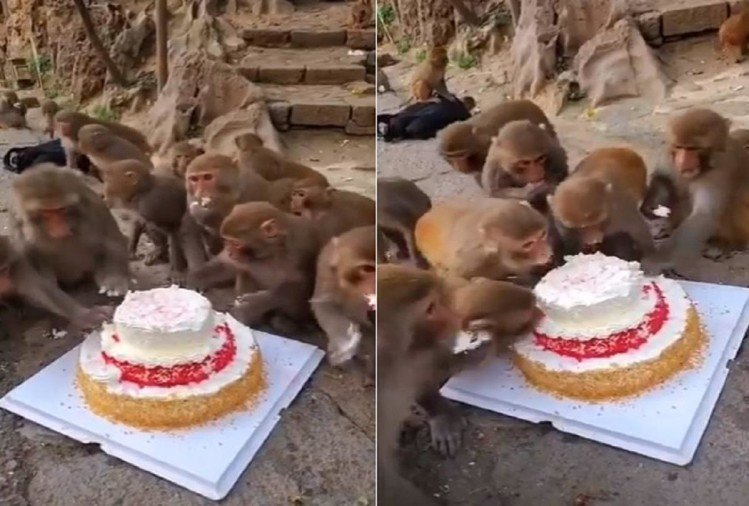 Monkeys celebrated birthday party with cake video viral on social media