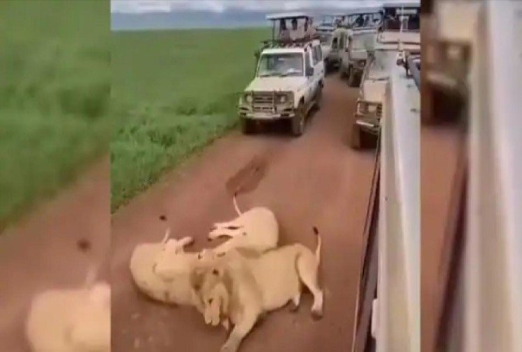 viral video three lions were making rest on the road due to this a long traffic jam happened