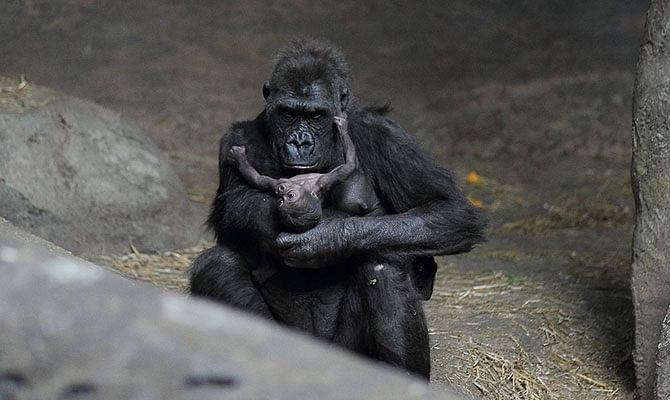 2-gorilla