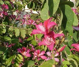 kanchanar flowers cure piles and thyroid