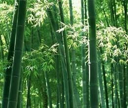 you will be surprised to know the virtues of bamboo