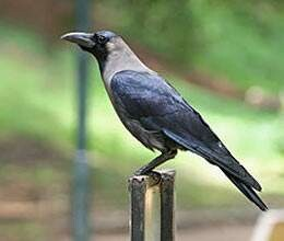 crows are on verge of extinct