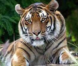 question raised on save tiger campaign