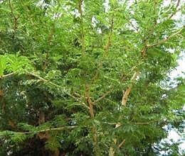 shami leaves auspicious on vijyadashmi