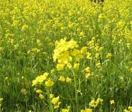 government increase minimum support price mustard