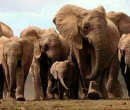 controversy over  contraception for elephant