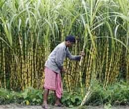 farmers strict on raising minimum support price of sugarcane
