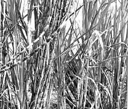 sugarcane farmers will go over