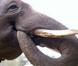 elephant mimics korean with help of his trunk