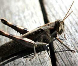 urban grasshoppers changed love tune for sex