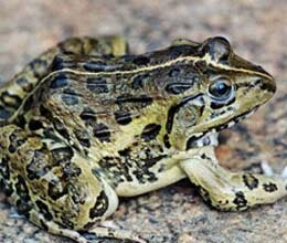 ?frogs are another reason for increasing cases of dengue