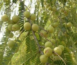 akshay navmi story and importance of amla