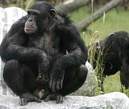 human disease in chimpanzee