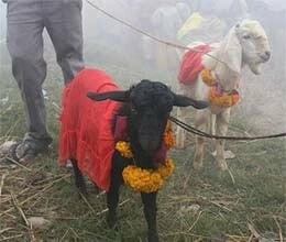 gabbar singh save animal from sacrifice