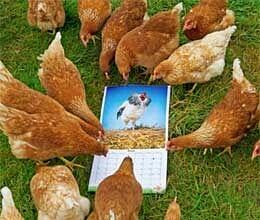 cockerels poses in calendar to make hens feel calmer
