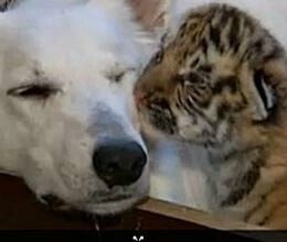 dog adopts abandoned tiger cubs in sochi russia