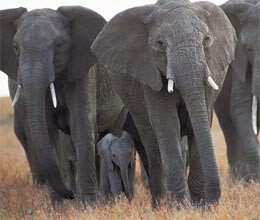 elephant saving clues how to save elephants