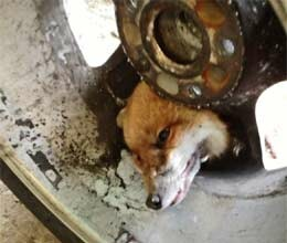 fox gets his head stuck in car wheel