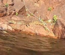 crocodile gets snappy with swimming tourists in australia