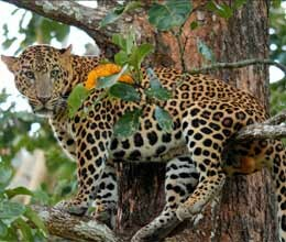 when leopard climbs up the tree scared by dogs