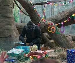 colo the gorilla celebrates her 56th birthday at columbus zoo