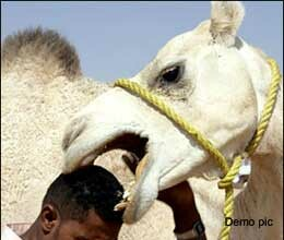 man dies as camel bite