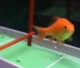 Can your fish play soccer?