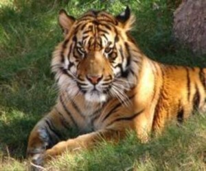 Man eater tiger killed in tamilnadu